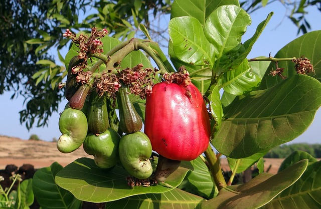 Cashew Fruit before being plucked away from the tree!