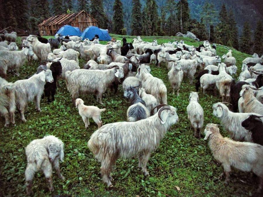 Herd of Sheep, Kalap