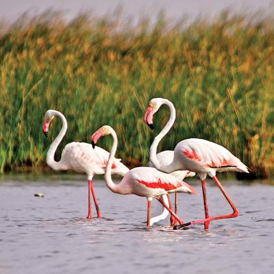 287716-flamingos