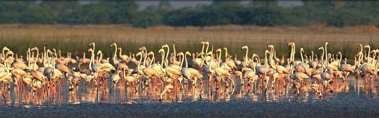 Flock of Flamingo's