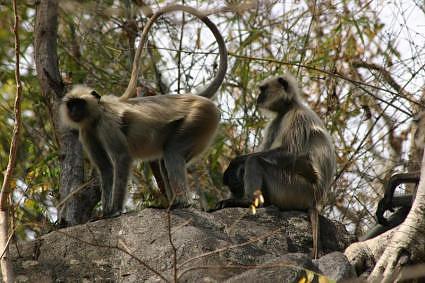 Langur-monkeys-at-Hanuman-dhara