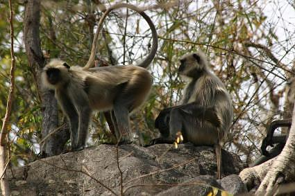 Langur-monkeys-at-Hanuman-dhara