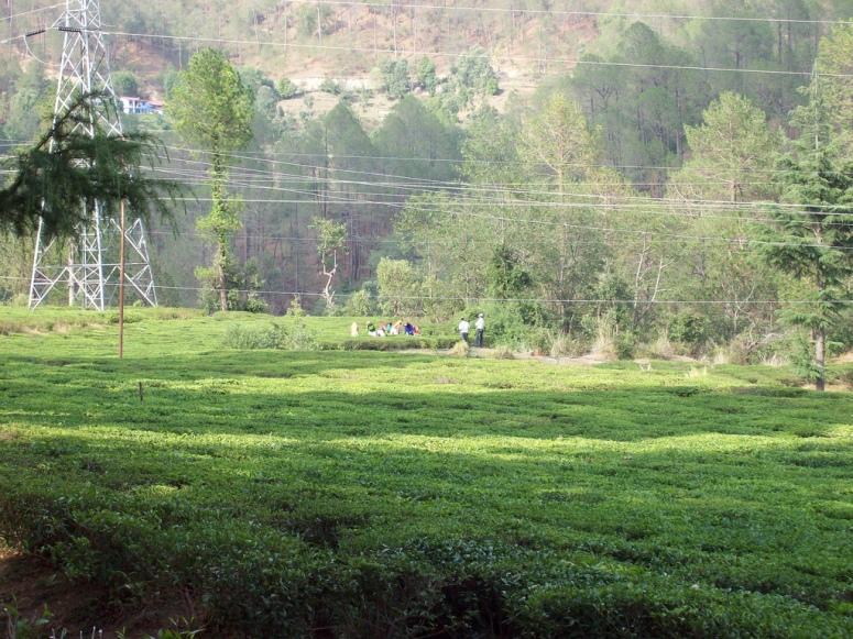 Tea Garden at Gorakhal