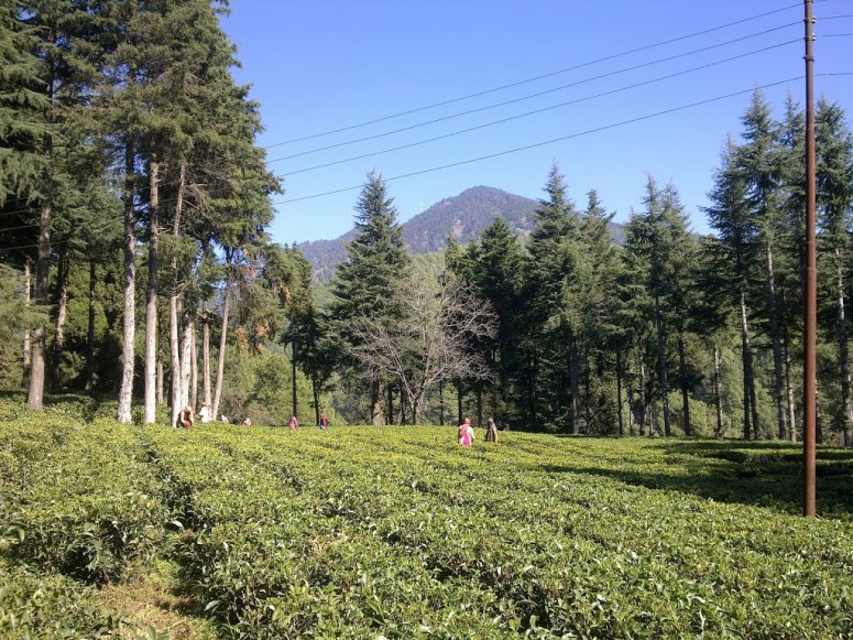 Organic Tea Gardens