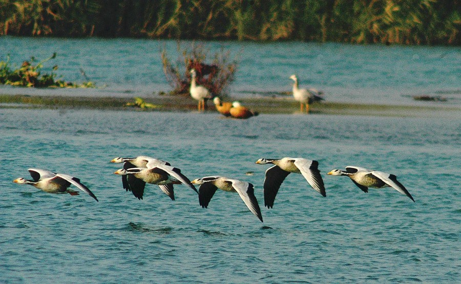 Chandigarh: Flocks of Greylag Geese from Siberia fly over wetland of Sutlej River at Ropar near Chandigarh. Hundreds of migratory birds come calling to this wetland every year. Lokmarg.com photo by Rajnish Katyal