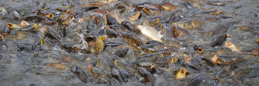 Fish-RenukaLake