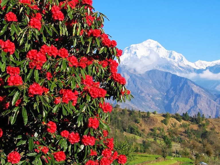 Valleys abalze with rhododendrons jungles