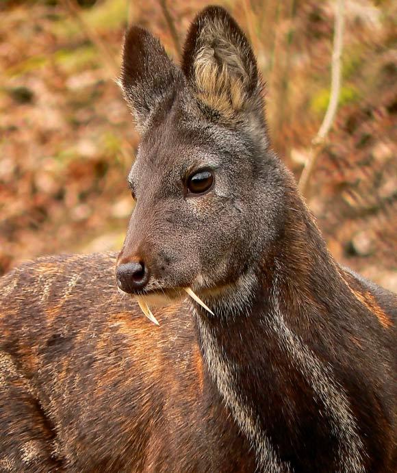 Askot-Musk-Deer