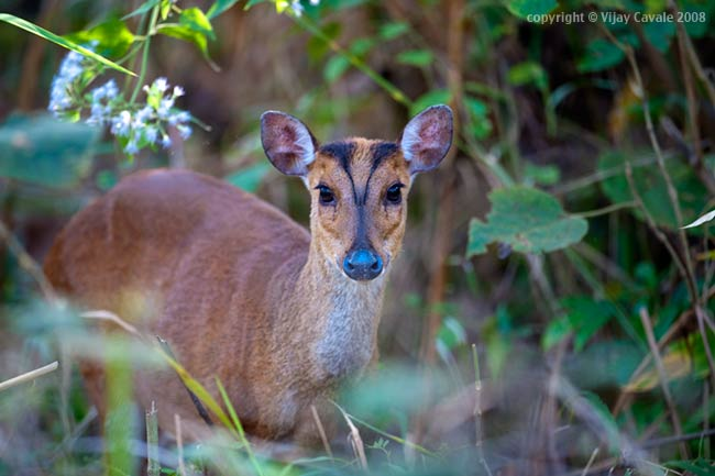 Barking-deer-muthodi
