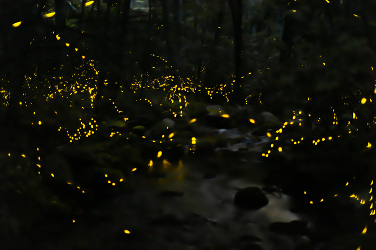 Fireflies in the night offer a spectacular once in a lifetime experience